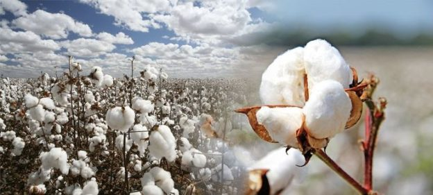 cotton farming frist image