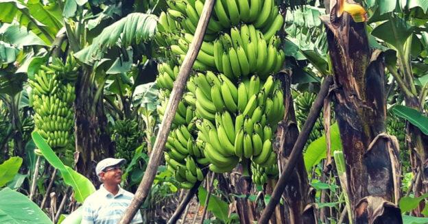 Banana farmer UP 1